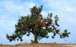 Carob tree. And blue sky Royalty Free Stock Image
