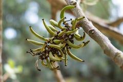 Carob tree branch stock image
