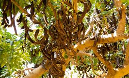 Carob Tree with Carobs in summer day royalty free stock images