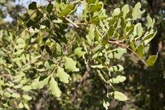 Carob tree, Ceratonia Stock Image