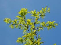 Carob tree Royalty Free Stock Photo