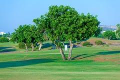 Carob tree (Ceratonia siliqua) and golf field. Paphos, Cyprus Stock Image