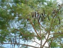 Carob tree Royalty Free Stock Image