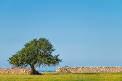 Carob tree and dry stone walls. A view of the countryside of Ragusa, a small town in the South-Eastern Sicily, with a carob tree and the classic dry stone walls Royalty Free Stock Image