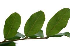 Carob tree leaves stock image
