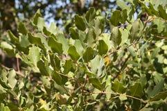 Carob tree Stock Image