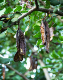Carob tree Royalty Free Stock Image