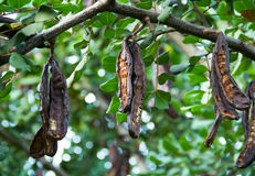 Carob tree Royalty Free Stock Photo