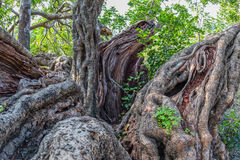 Carob tree trunk. Mighty trunk of the very old carob tree in a sunny late autumn day Stock Photo