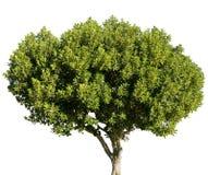Carobgräshoppaträd som isoleras på vit bakgrund arkivbild