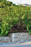 Carobträd Royaltyfri Fotografi