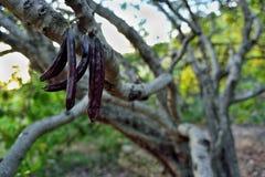 Carobträd Royaltyfria Bilder