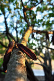 Carobträd Arkivfoto