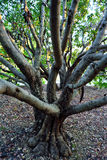 Carobträd Arkivfoton