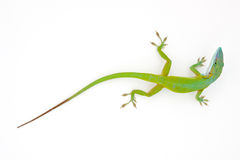 Carolina anole (Anolis carolinensis) Royalty Free Stock Photos