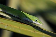 Carolina Anole in Bull Creek Wildlife Management Area, Florida royalty free stock photos