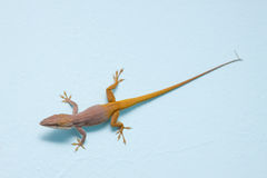 Carolina anole (Green anole, red-throated anole) Royalty Free Stock Photo