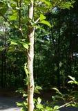 Carolina Anole Green Lizaard en un tronco de árbol Imágenes de archivo libres de regalías