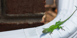 Carolina anole 2. Green lizard-Carolina anole basking in the sun on a downspout stock images