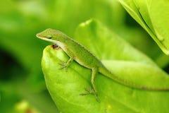 Carolina anole lizard Royalty Free Stock Images