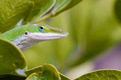 Carolina Anole Lizard. Green Lizard in the mountain Laurel Stock Photo