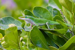 Carolina Anole Lizard. Green Lizard in the mountain Laurel Royalty Free Stock Photo