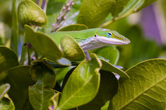 Carolina Anole Lizard. Green Lizard in the mountain Laurel Stock Photography