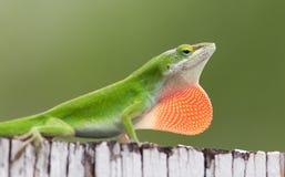 Carolina Anole Lizard masculina Fotos de Stock Royalty Free
