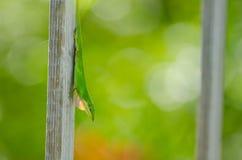 Carolina-Anolis (Anolis carolinensis) Stockbild