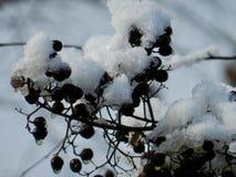 Carolina Berries stockfotografie