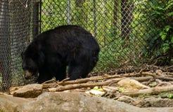Carolina Black Bear del nord - ursus americanus fotografie stock libere da diritti