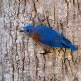 Carolina Bluebird på ett träd Arkivfoto