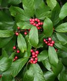 Carolina buckthorn berries and foliage. Attractive Carolina buckthorn berries and foliage royalty free stock images