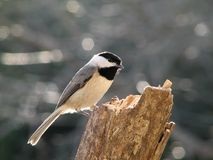 Carolina Chickadee. On a Log Stock Photo
