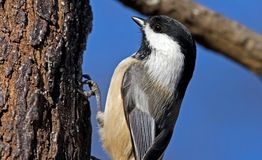 Carolina Chickadee Arkivbild