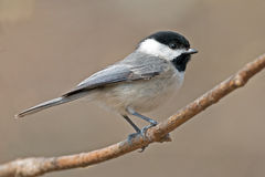 Carolina Chickadee Arkivfoton