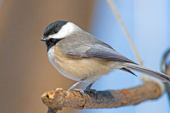 Carolina Chickadee Royaltyfri Fotografi