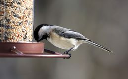Carolina Chickadee beautiful colorful bird eating seeds from a bird seed feeder during summer in Michigan. Pretty avian with yellow, grey, white and black Stock Images