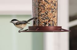 Carolina Chickadee beautiful colorful bird eating seeds from a bird seed feeder during summer in Michigan. Pretty avian with yellow, grey, white and black Stock Photos