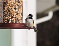 Carolina Chickadee beautiful colorful bird eating seeds from a bird seed feeder during summer in Michigan. Pretty avian with yellow, grey, white and black Stock Photo
