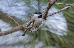 Carolina Chickadee bird, Athens, Georgia. Carolina Chickadee song bird, Poecile carolinensis, backyard birding, Athens, Georgia, USA stock images