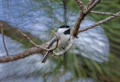Carolina Chickadee bird, Athens, Georgia Stock Photos