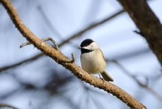 Carolina Chickadee bird on perch, Athens, Georgia USA. Carolina Chickadee bird, Poecile carolinensis, a native songbird in Athens, Georgia, USA. Perched on pine stock photo