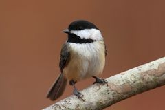 Carolina Chickadee on a Branch Royalty Free Stock Images