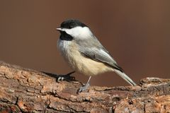 Carolina Chickadee on a Branch Royalty Free Stock Image