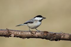 Carolina Chickadee. On a branch Royalty Free Stock Images