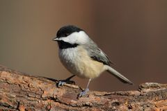 Carolina Chickadee on a Branch Stock Photo