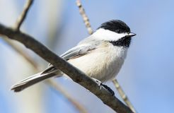Carolina Chickadee Royalty Free Stock Images