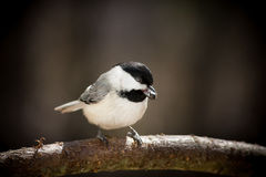 Carolina Chickadee. A Carolina Chickadee, eating a seed, is perched in the late afternoon light Stock Images