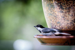 Carolina Chickadee at the Feeder stock image